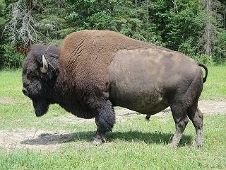 bizon in gras